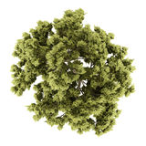 Top view of white ash tree isolated on white Royalty Free Stock Photo