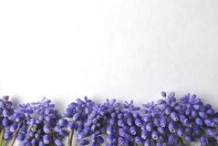 Top view of a white background with purple violet lavender spring bulb flowers for copy and text Stock Image