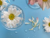 Top view of white chrysanthemum flower in glass, flower bloom beautiful on blue background royalty free stock photos