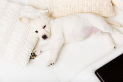 Top view of white puppy lying on the side Stock Images