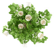 Top view of white rose tree plant isolated on white. Background Stock Photo