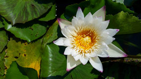 Top view white water lilly  flower Royalty Free Stock Images