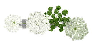 Top view of wild carrot flowers in jars isolated on white Royalty Free Stock Images