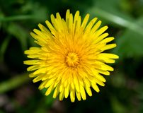 Top view of yellow dandelion flower Stock Images