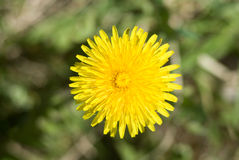 Top view of yellow dandelion flower Stock Photos