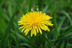 Top view of yellow dandelion flower. Beautiful yellow spring dandelion in green grass Stock Photo
