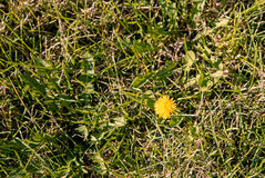 Top view of yellow dandelion flower in mesy grass Royalty Free Stock Photography