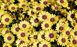 Yellow gazania Royalty Free Stock Image