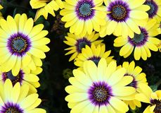 Yellow gazania. Top view of yellow gazania with purple pollen Royalty Free Stock Photography