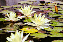 Top view yellow lotus flowers, bud and leaves in the pond Royalty Free Stock Photos