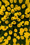 Top view of yellow tulips Stock Images