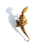 Top view yellow velociraptor toy on white background with shadow Royalty Free Stock Images