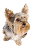 Top view of a yorkie Royalty Free Stock Photo