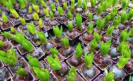 Pots with Young Hyacinth Top View Stock Photos