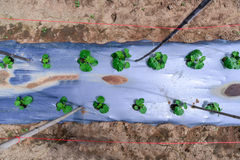 Top view of young melon plantation mulching with plastic film Royalty Free Stock Photos