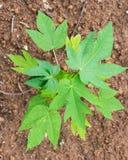 Top view young papaya tree Stock Image