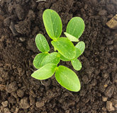 Top view of young plants growing  on soil Royalty Free Stock Photos