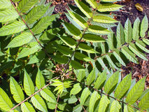 Top view of a young sapling tree Ailanthus altissima Stock Photos