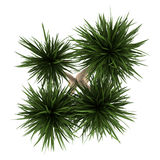 Top view of yucca palm tree isolated on white. Background royalty free illustration