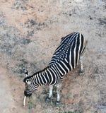 Top view zebra Stock Image