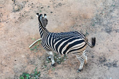 Top view zebra Royalty Free Stock Photography