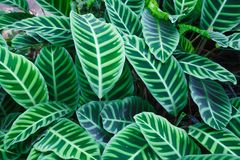 Top View of Zebra Plant Calathea Zebrina tropical striped evergreen ornamental plant leaves foliage wallpaper background.  stock image