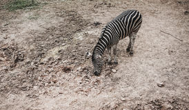 Top view zebra in the zoo Stock Photo