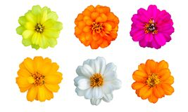 Top view of Zinnia Flower on white background. Isolated royalty free stock photo