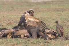 Top Vulture over rest of flock. Vulture asserting dominance over rest of vultures Stock Photo