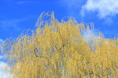Weeping Willow Tree in Springtime. The top of a Weeping Willow tree and the long veil of branches with leaves forming during the Spring season royalty free stock photos