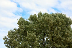 Top of willow tree on sky  background Stock Images