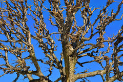 Top of the winter tree without leaves. Royalty Free Stock Photography