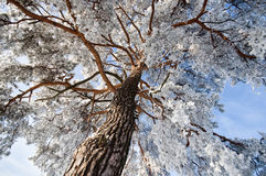 Top of winter pine tree Stock Photos