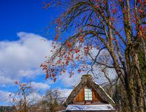 Shirakawago Historic Village in Gifu, Japan. Top of a wooden house with persimmon tree and fruits at Historic Village of Shirakawago in Gifu, Japan Stock Photos