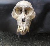 Tope del cráneo del mono Foto de archivo libre de regalías