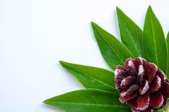 Topetón y hojas verdes en un fondo blanco fotografía de archivo libre de regalías