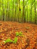 Topete da samambaia verde Fim molhado da floresta da faia do verão entre árvores de faia na floresta próxima do outono Foto de Stock Royalty Free