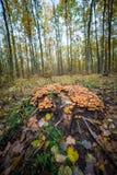 Topete do enxofre dos cogumelos Imagem de Stock