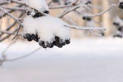 Topete do inverno de uma cinza de montanha preta com a neve Fotos de Stock Royalty Free