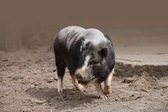 Topf aufgeblähtes Schwein an einem Bauernhof Stockbild