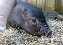 Topf aufgeblähtes Schwein mit Heu stockbild