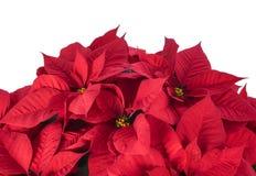 Topf der hellen roten Poinsettias stockfotos