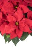 Topf der hellen roten Poinsettias stockfotografie