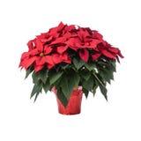 Topf der hellen roten Poinsettias stockbilder