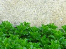 Topf goldener kriechender Sedum Live Perennial Plant Groundcover mit gelben Blumen mit grünem Laub stockbild