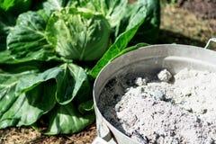 Topf mit Asche auf dem Landwirtgebiet von Kohlpflanzen Lizenzfreies Stockfoto