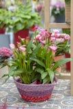 Topf mit Blumen des rosa Calla Lizenzfreies Stockfoto