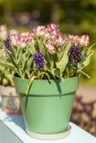 Topf mit typischen niederländischen Tulpen und Hyazinthe blüht Lizenzfreies Stockfoto