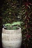 Topfpflanze gegen dunkelgrüne Wand Farn in einem großen keramischen Topf Stockfoto