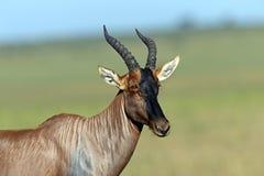 Free Topi Antelope Royalty Free Stock Image - 39514446
